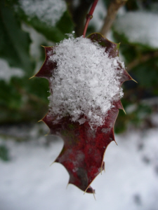 """Snow on Red Holly"" (photo by Dan Keusal)"