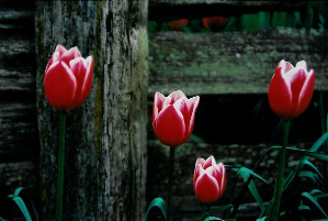 Tulips & Weathered Fence (by Dan Keusal)