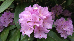 Sheltering in Place: Pink Rhododendron (photo by Dan Keusal)