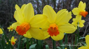 """Daffodils, yellow and orange"" by Dan Keusal"